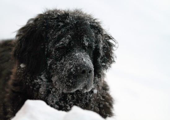 Собачий портрет 114108--40397616-m549x500-udb3dc