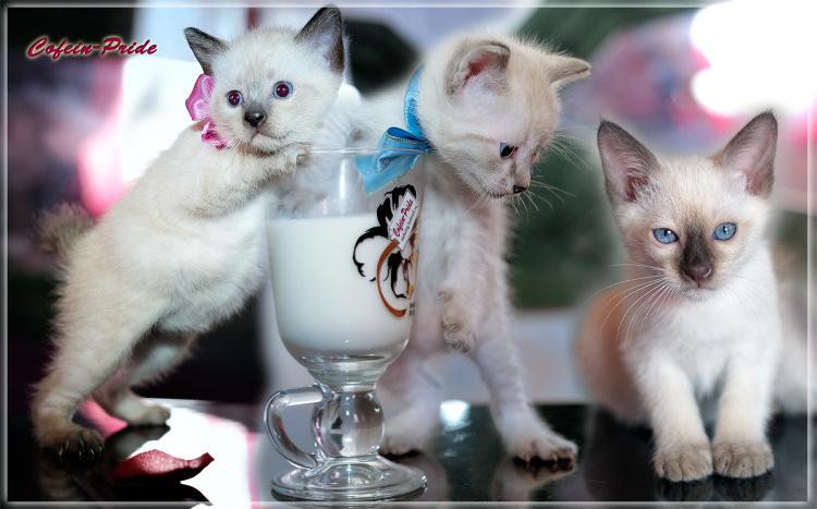 меконгский бобтейл котята сил-пойнт, табби-пойнт, шоколад-пойнт