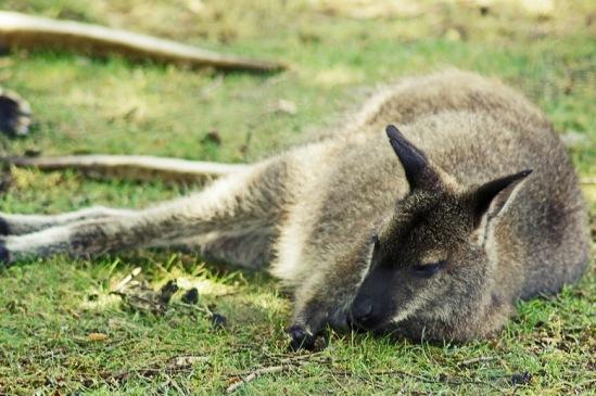 Кенгуру в парке Шантильи.