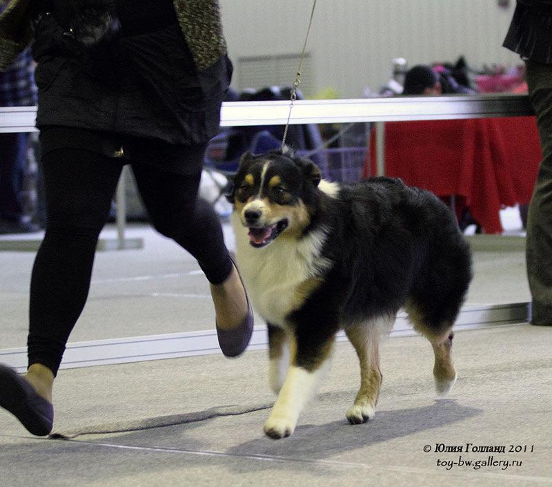 Выставочные успехи наших собак - Страница 40 205407--42010935--uf5735