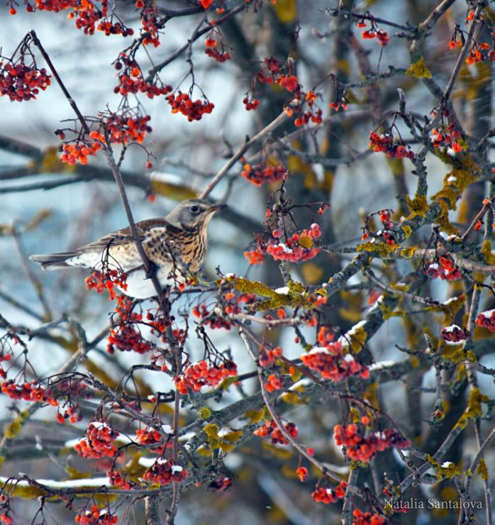 Зимние птицы Подмосковья.