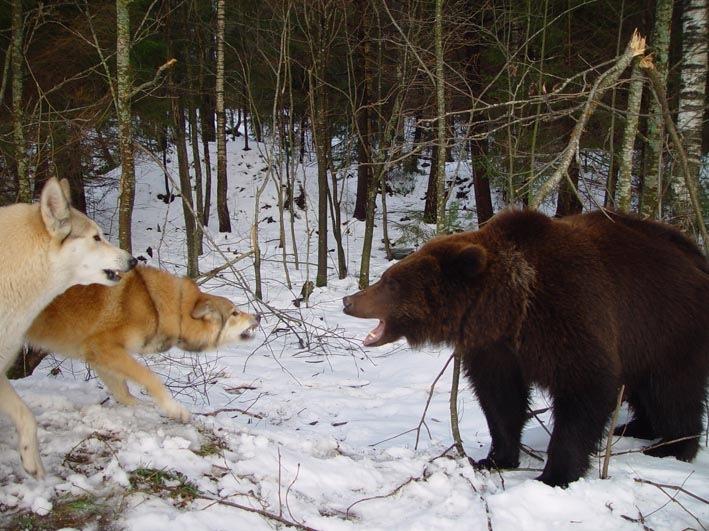 ...щенки восточно-сибирской лайки от рабочих родителей.
